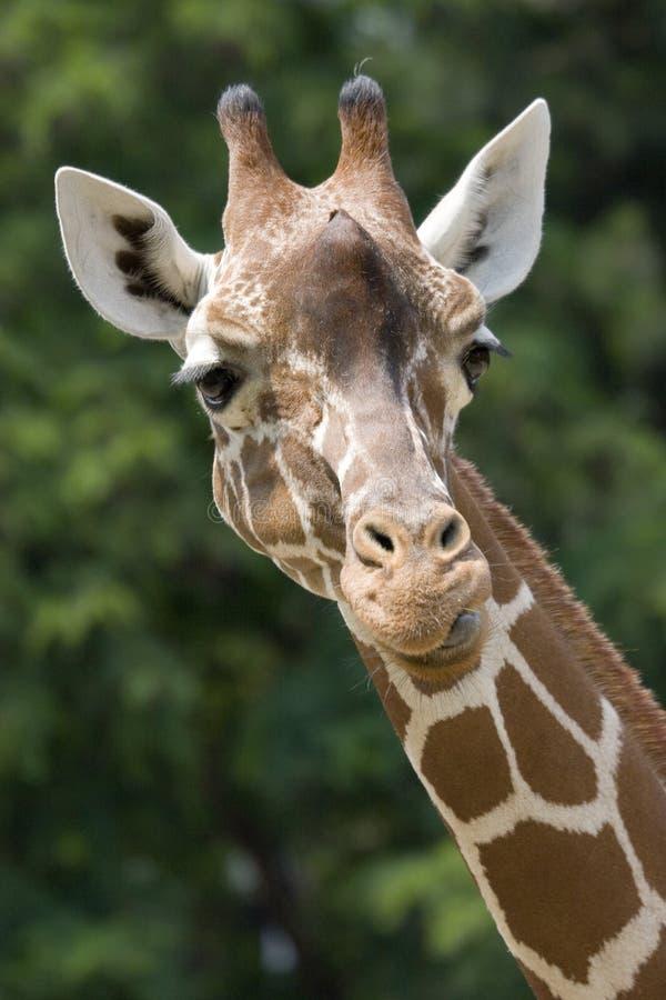 Download Giraff fotografering för bildbyråer. Bild av däggdjur, safari - 976559