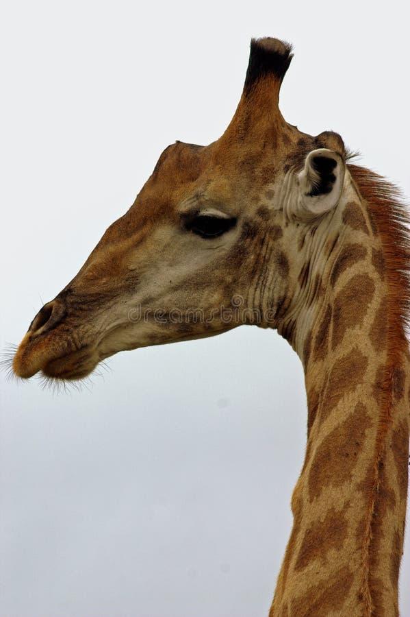 Download Giraff fotografering för bildbyråer. Bild av angus, giraff - 977111