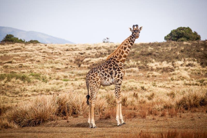 Giraff Camelopardalis i Ngorongoro royaltyfri bild