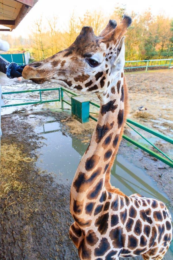 Giraff för Rothschild ` s från över arkivbild