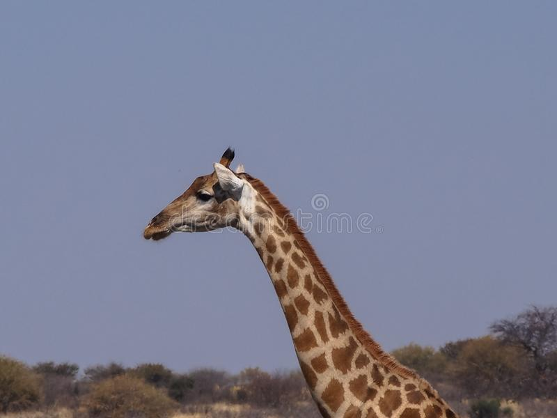 Giraff från hals uppåt arkivfoto
