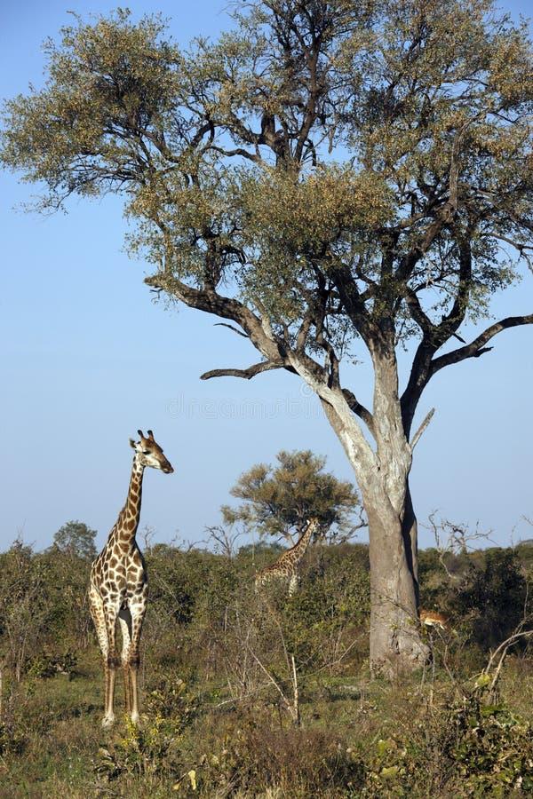 Giraff - Giraffacamalopardalis - Botswana royaltyfria bilder