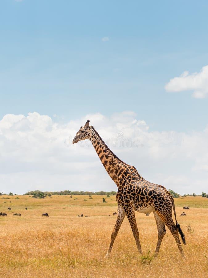 Giraff i afrikansk savannah, på Masai Mara, Kenia arkivfoto