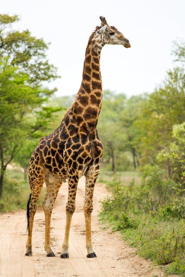 Giraff i Bush i Sydafrika royaltyfri fotografi