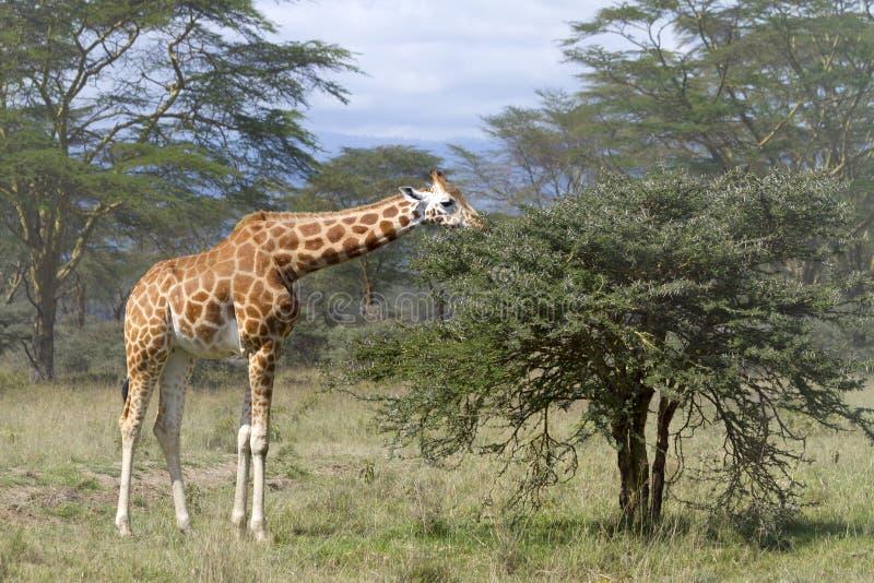 Giraff i den Kenya bygden royaltyfri fotografi