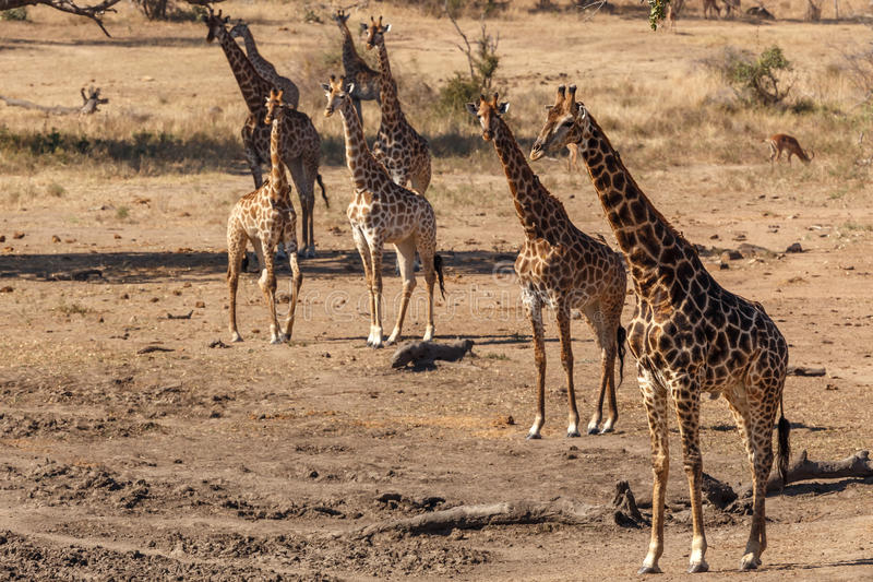 Giraff i den Kruger nationalparken arkivbild