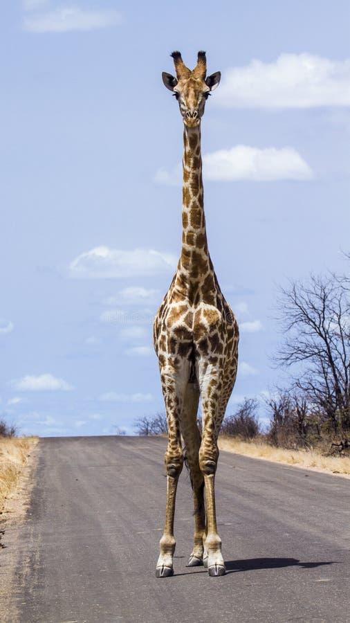 Giraff i den Kruger nationalparken, Sydafrika arkivfoton