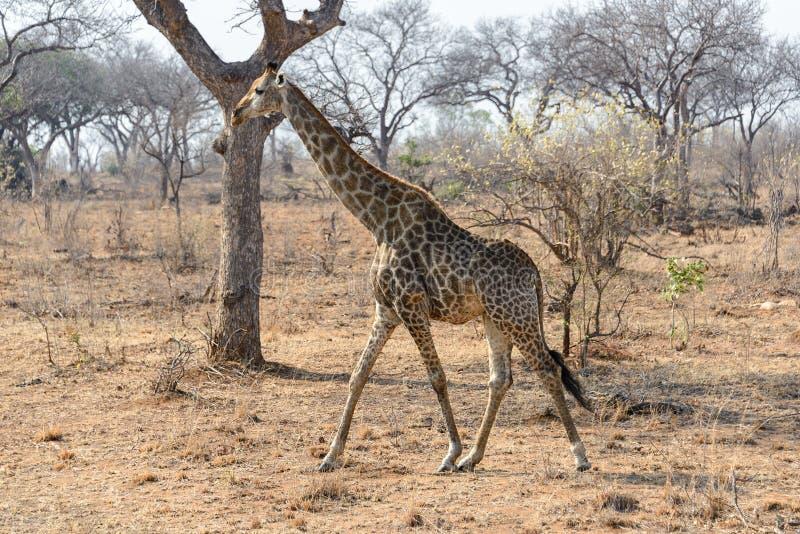 Giraff i den Kruger nationalparken, Sydafrika royaltyfria foton
