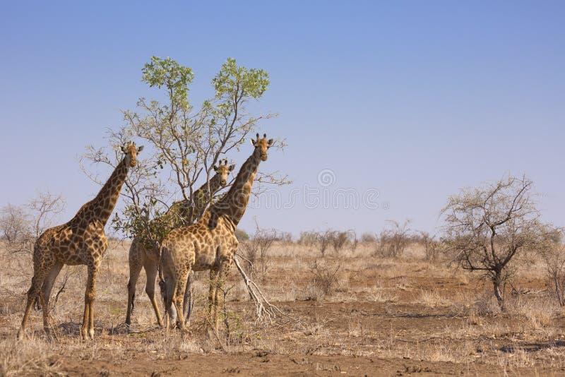 Giraff i den Kruger nationalparken, Sydafrika arkivfoto