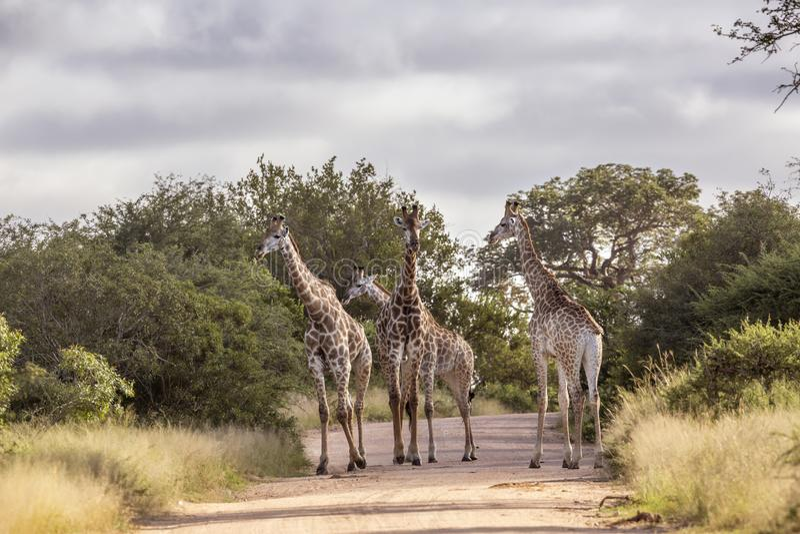 Giraff i den Kruger nationalparken, Sydafrika royaltyfri bild