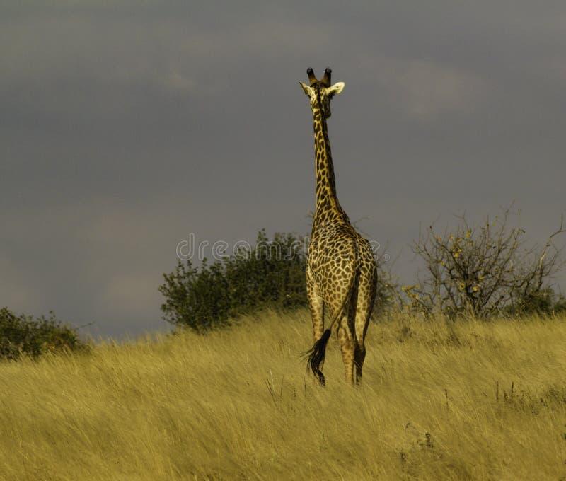 Giraff i den Tsavo nationalparken Kenya Afrika fotografering för bildbyråer