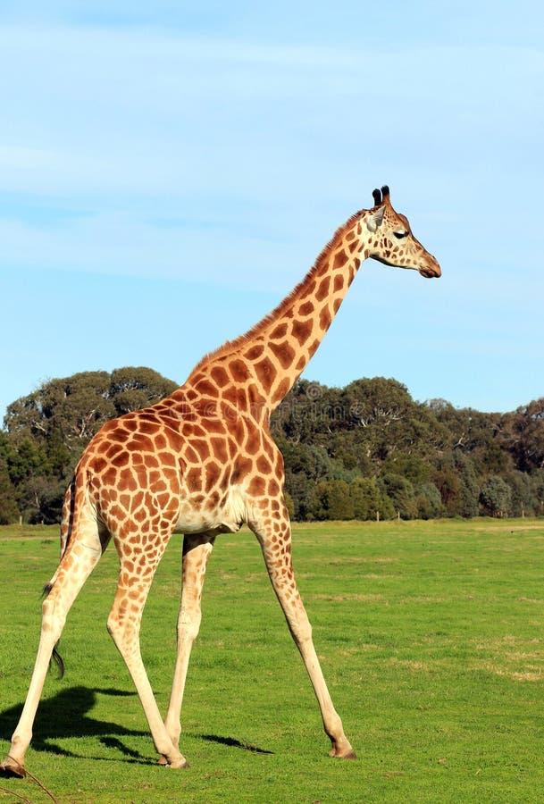 Giraff i en zoo royaltyfria bilder