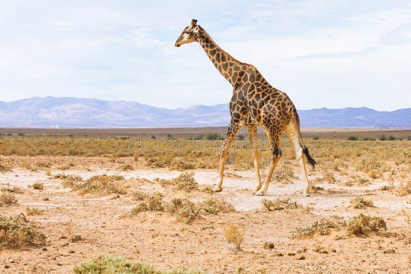 Giraff i landskapet av Sydafrika, djurlivsafari royaltyfri foto