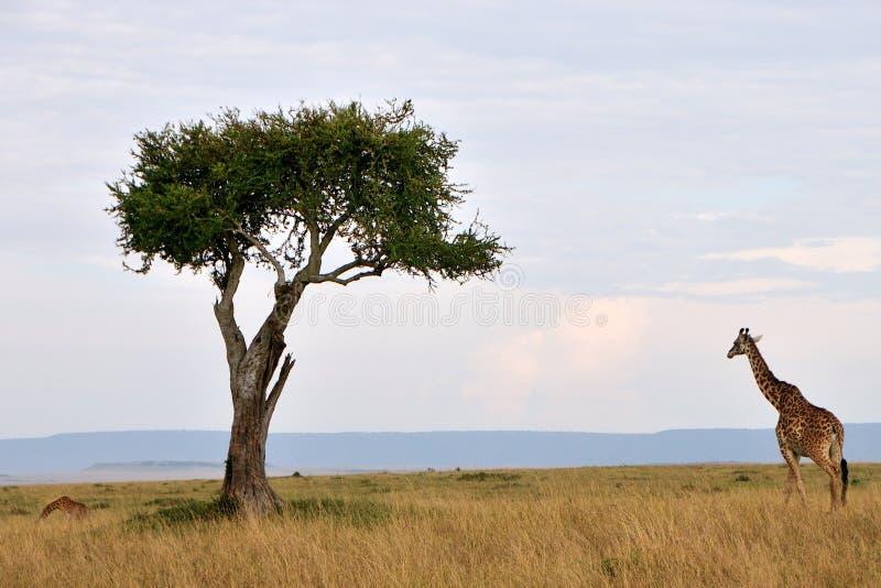 Giraff i masaien Mara fotografering för bildbyråer