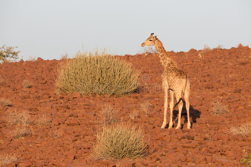 Giraff i Namib royaltyfri foto