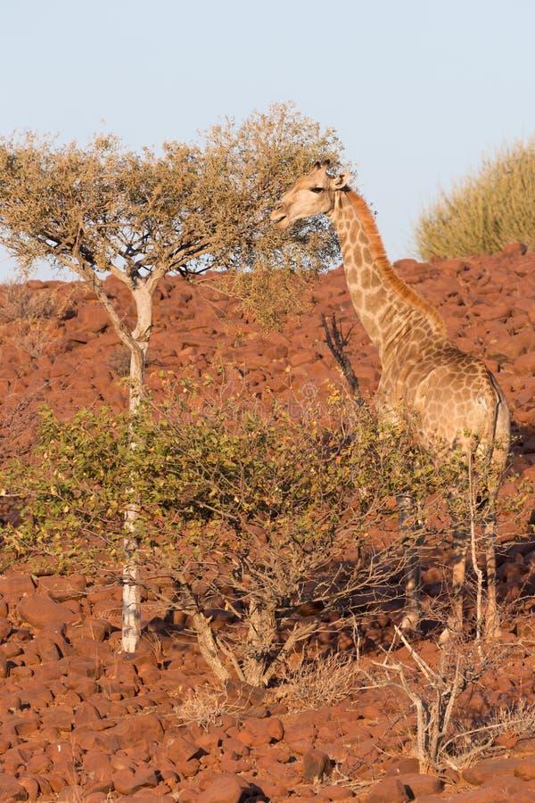 Giraff i Namib royaltyfria bilder