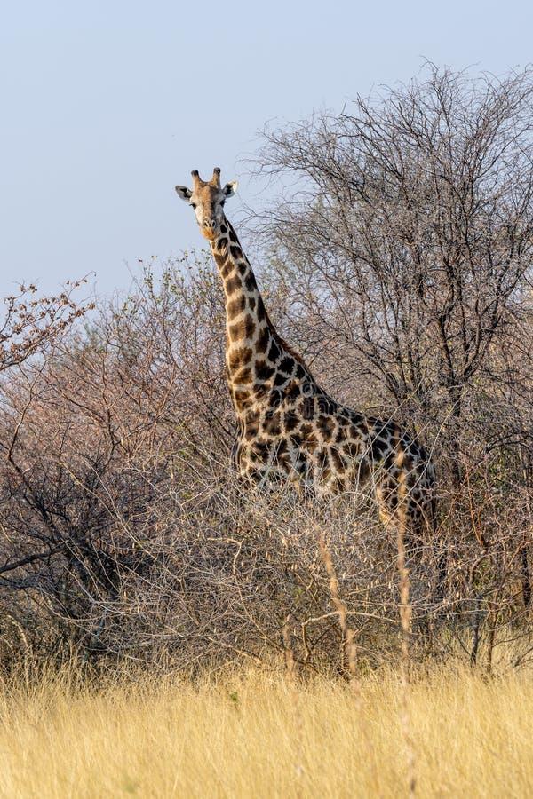 Giraff i svannaen av den Kalahari öknen i Botswana i Afrika arkivfoto