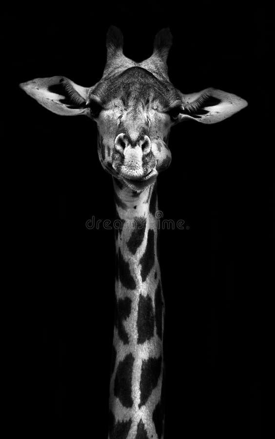 Giraff i svartvitt arkivbilder