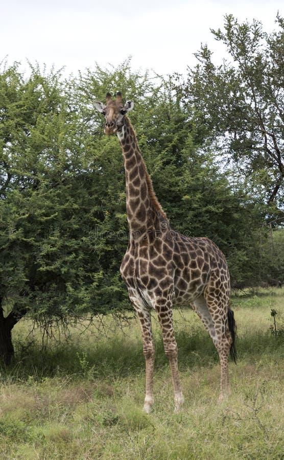 Giraff i Sydafrika royaltyfria bilder