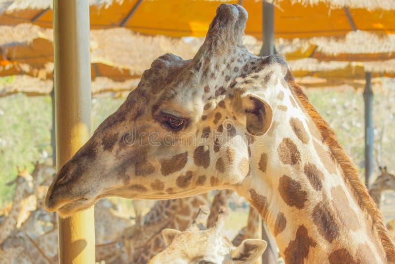 Giraff i zoo upp djup syn royaltyfria foton