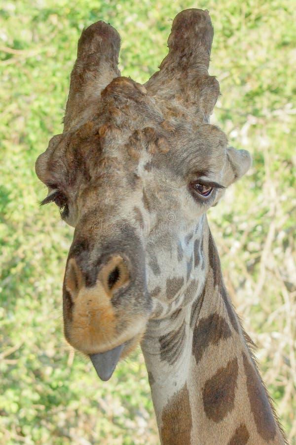 Giraff i zoo upp djup syn royaltyfria bilder