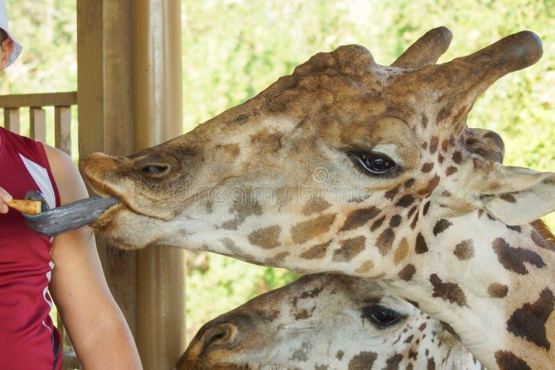 Giraff i zoo upp djup syn royaltyfri foto