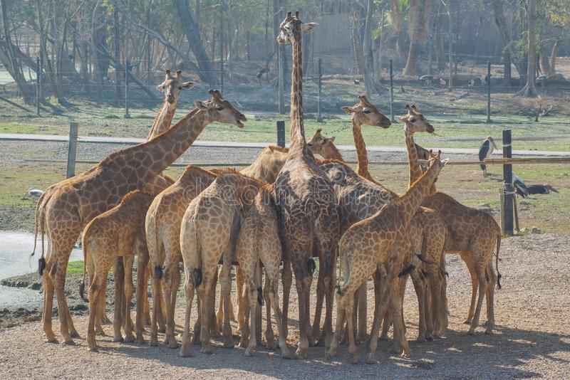 Giraff i zoo upp djup syn royaltyfri bild