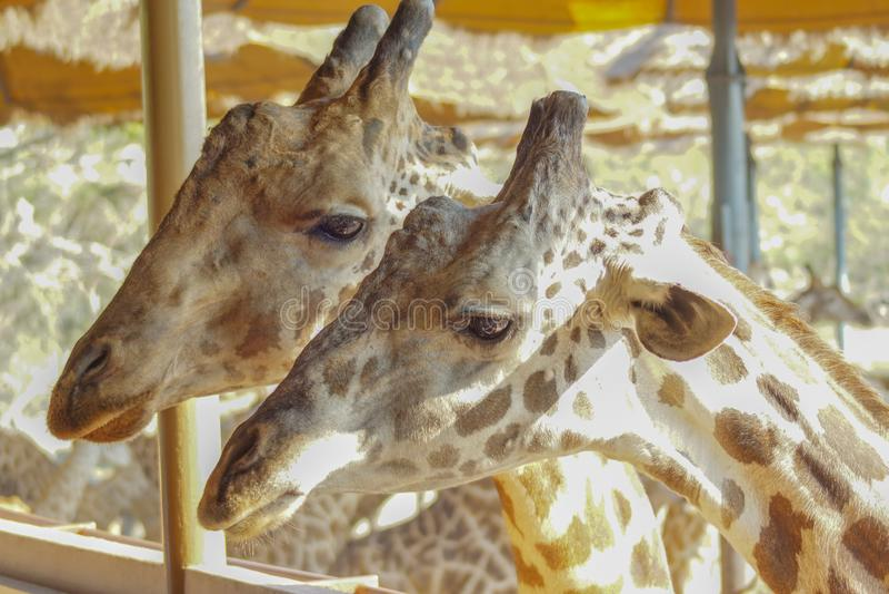 Giraff i zoo upp djup syn arkivfoto