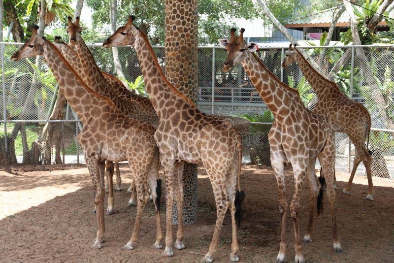 Giraff i zoologisk trädgård arkivbilder