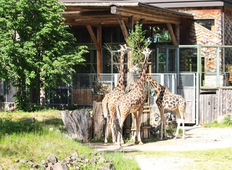 Giraff i zoologisk trädgård GIRAFFA CAMELOPARDALIS ROTHSCHILDI fotografering för bildbyråer