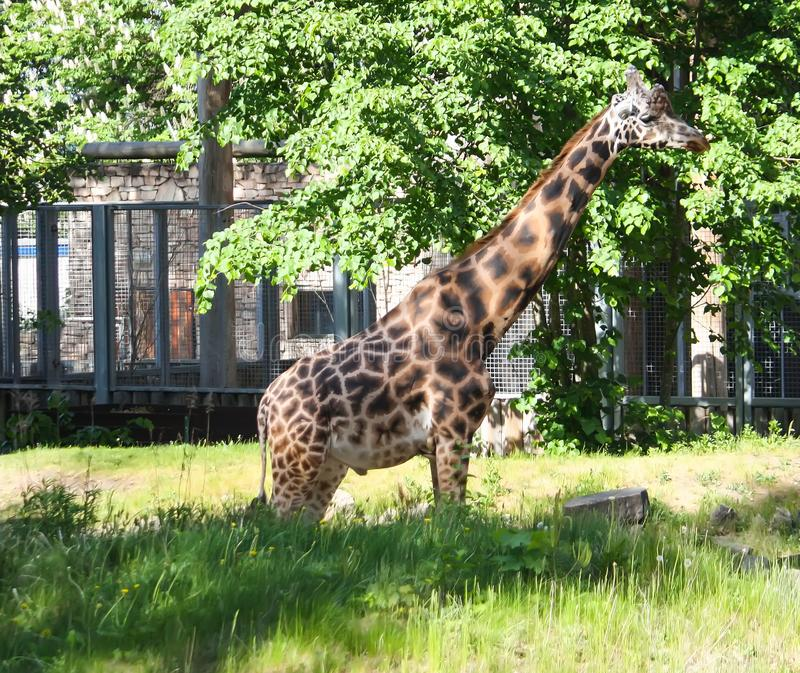Giraff i zoologisk trädgård GIRAFFA CAMELOPARDALIS ROTHSCHILDI arkivbilder