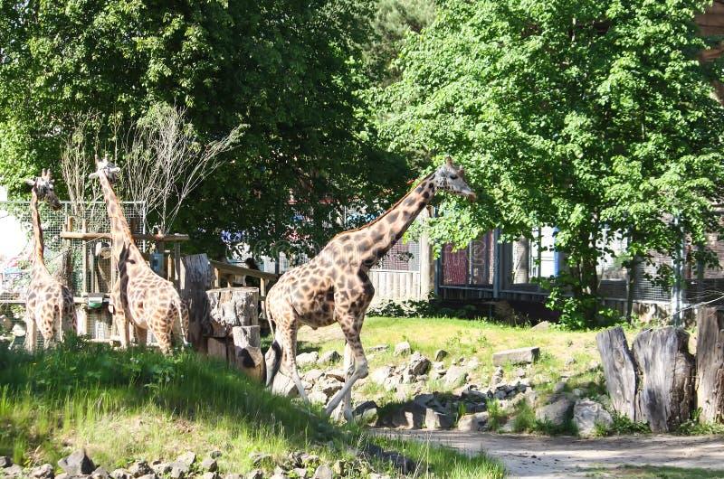 Giraff i zoologisk trädgård GIRAFFA CAMELOPARDALIS ROTHSCHILDI royaltyfria foton