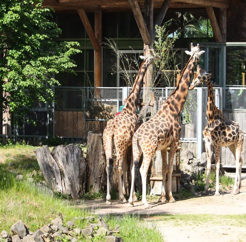 Giraff i zoologisk trädgård GIRAFFA CAMELOPARDALIS ROTHSCHILDI arkivfoton