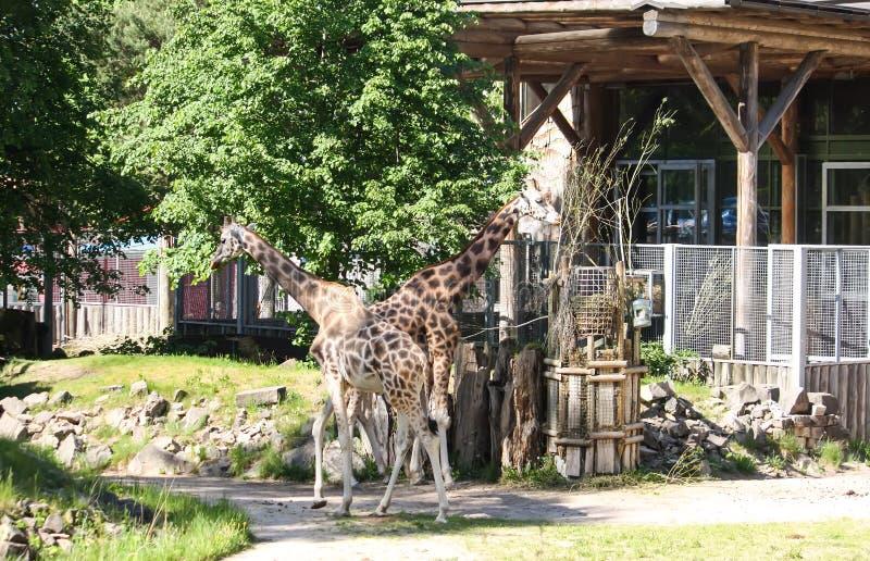 Giraff i zoologisk trädgård GIRAFFA CAMELOPARDALIS ROTHSCHILDI royaltyfri fotografi