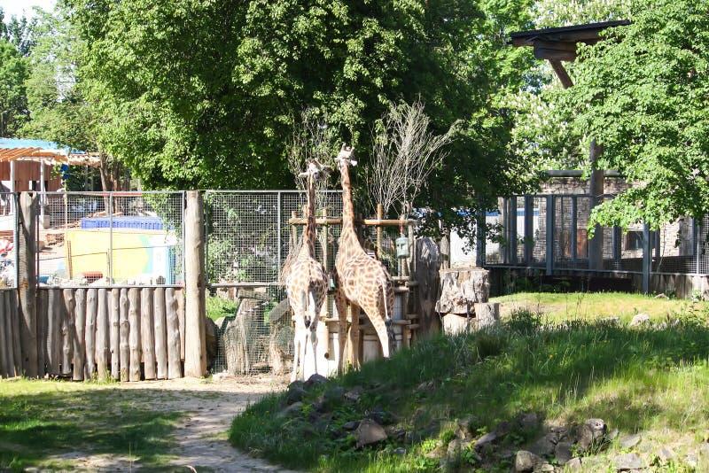Giraff i zoologisk trädgård GIRAFFA CAMELOPARDALIS ROTHSCHILDI royaltyfri foto