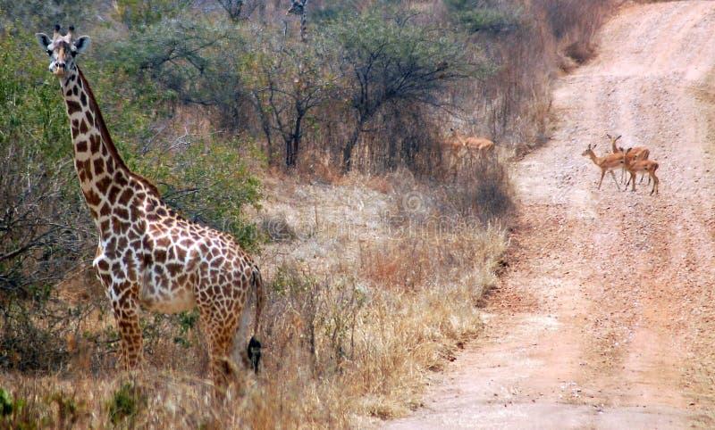 Giraff med bakgrund av en väg med gaseller fotografering för bildbyråer