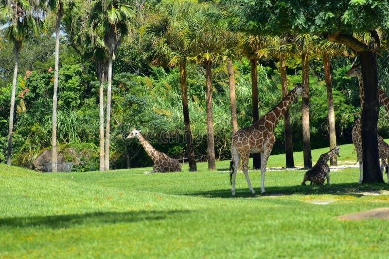 Giraff med härlig skog- och palmträdbakgrund på Bush trädgårdar Tampa Bay arkivbild