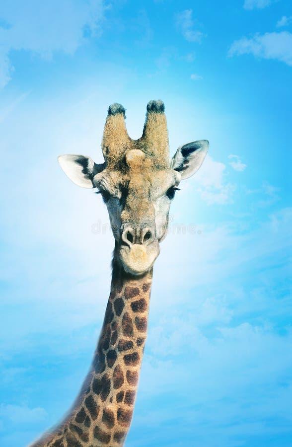 Download Giraff med huvudet i moln, fotografering för bildbyråer. Bild av kopia - 78729963
