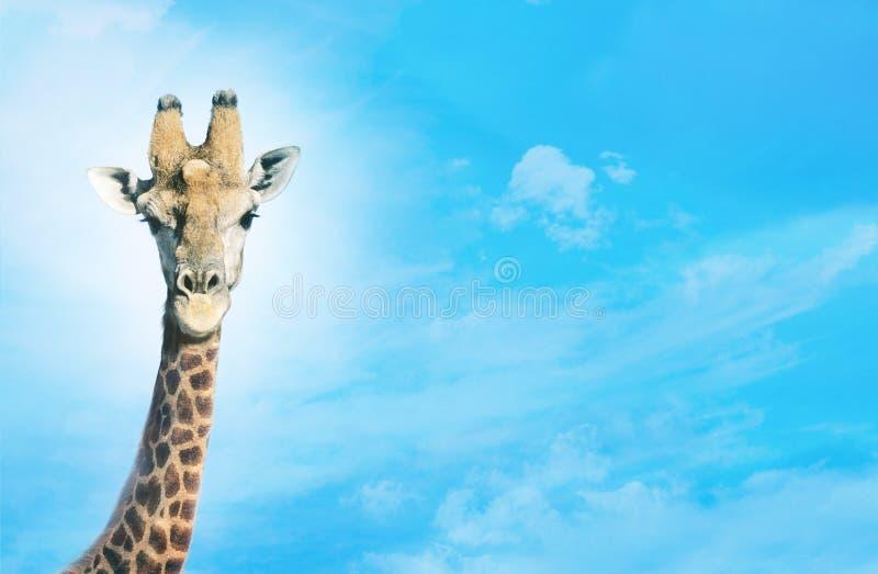 Download Giraff med huvudet i moln, fotografering för bildbyråer. Bild av clear - 78729973