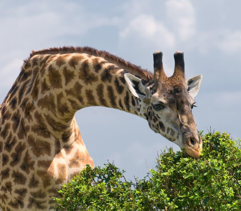 Giraff och en tree, afrikanskt djurliv, safari royaltyfria bilder