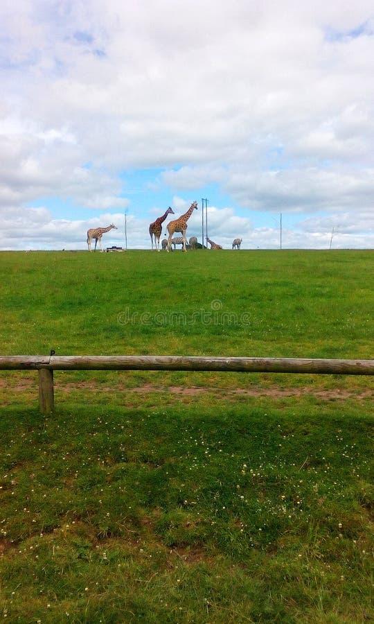 Giraff och sebror på fältet under dagen fotografering för bildbyråer