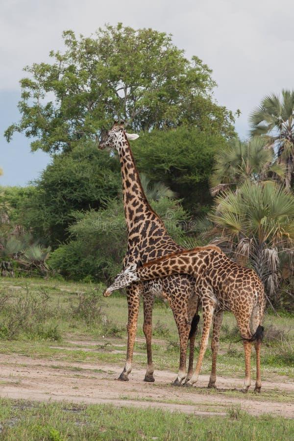 Giraff på afrikansk safari royaltyfri foto