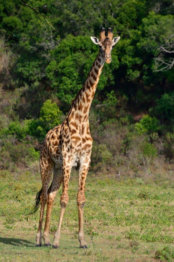 Giraff på den Arusha nationalparken, Tanzania, Afrika arkivfoto