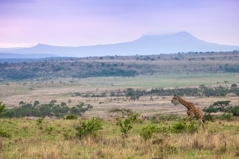 Giraff på flyttningen royaltyfria bilder