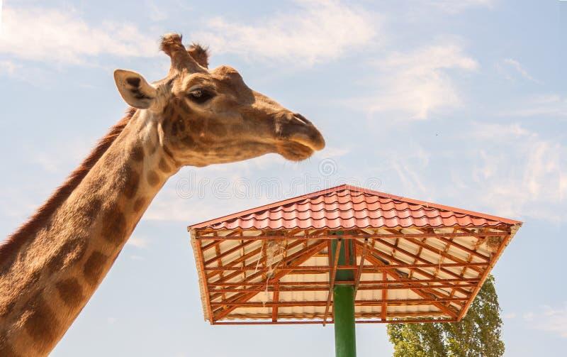 Giraff på ho royaltyfria foton