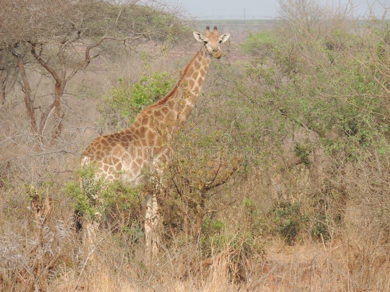 Giraff på savannahen royaltyfri foto