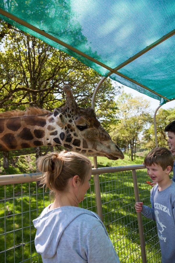 Giraff Safari Encounter fotografering för bildbyråer