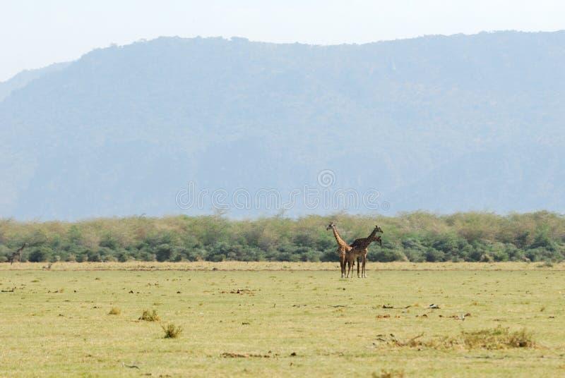 Giraff Serengeti nationalpark, Tanzania arkivbild