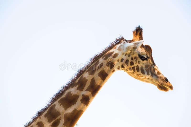 Giraff sidosikt royaltyfri foto