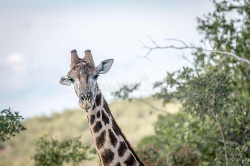 Giraff som är i huvudrollen på kameran royaltyfri bild